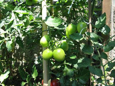 Pomodori ancora in matrazione
